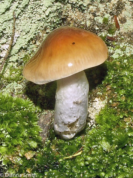 Cortinarius collinitus3558