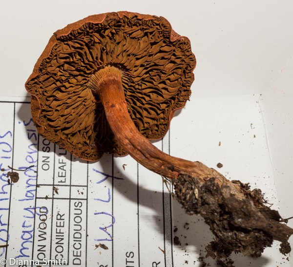Cortinarius marylandensis02837