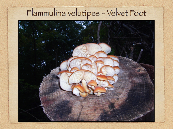 EDIBLE MUSHROOMS & POISONOUS LOOK-A-LIKES by Dianna Smith