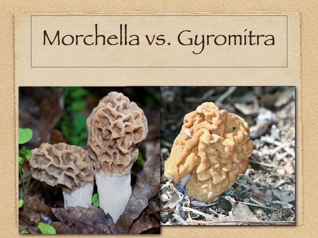 morchella vs gyromitra fungikingdomnet fungiphotosnet