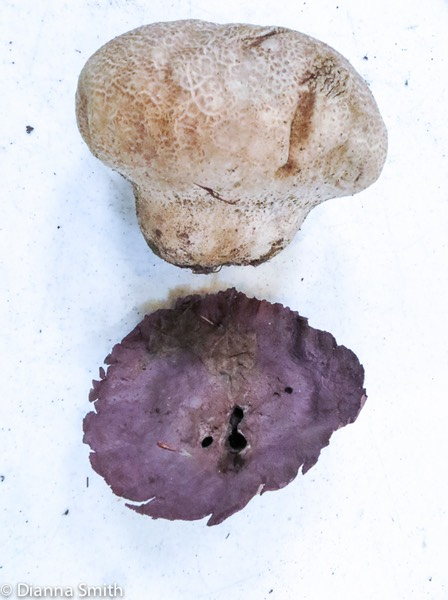 Calvatia craniformis with purple base_0162